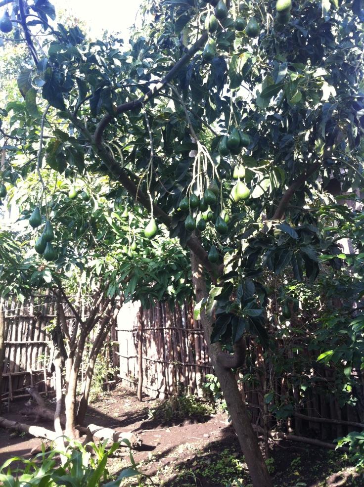 Our Avacado trees