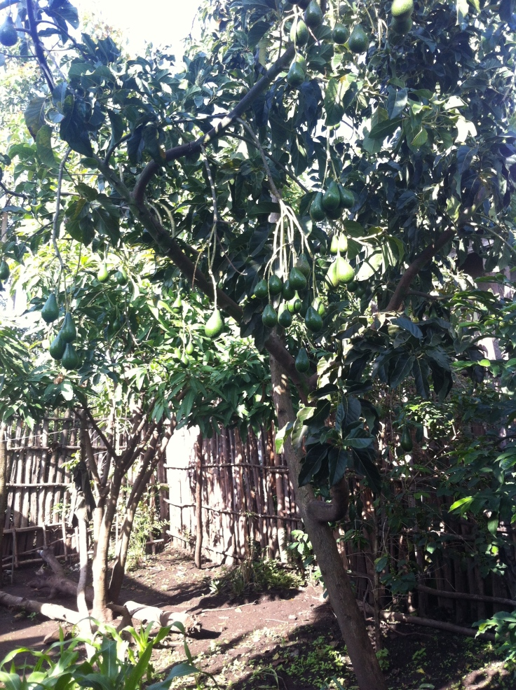 Our Avacado trees
