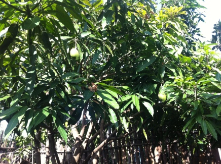 Our mango trees