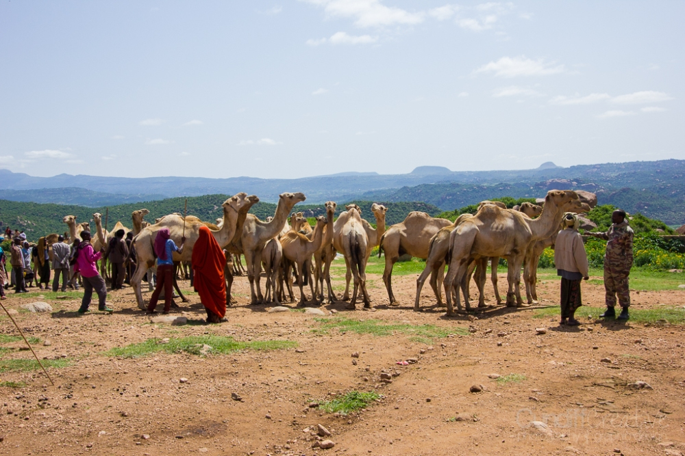 Camels, Hyenas, and Goats Oh My! (3/6)
