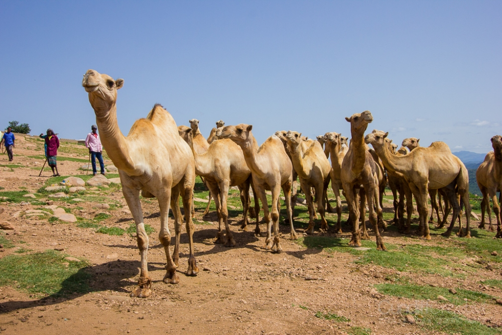 Camels, Hyenas, and Goats Oh My! (5/6)
