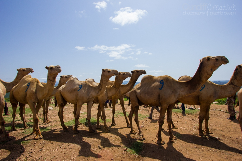 Camels, Hyenas, and Goats Oh My! (4/6)