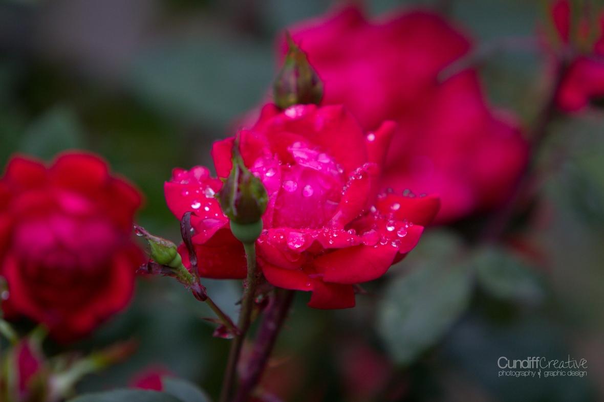 roses-7860