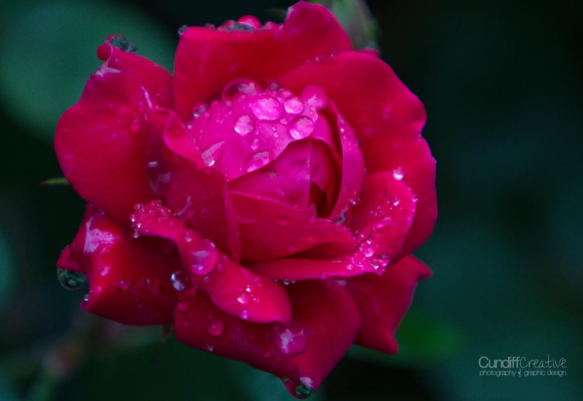 roses-7863