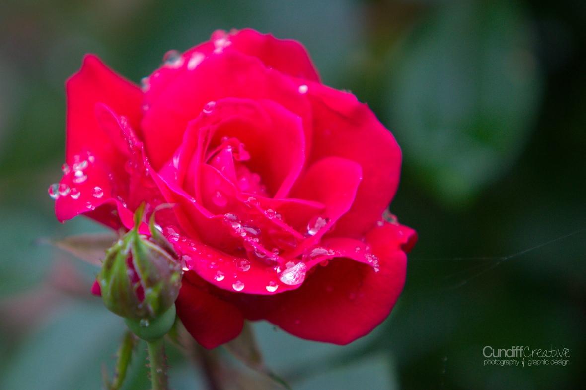 roses-7868