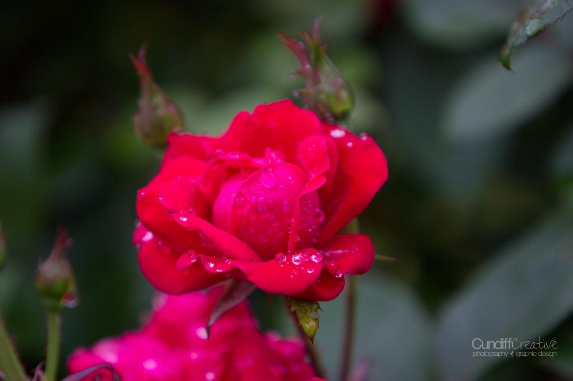 roses-7869