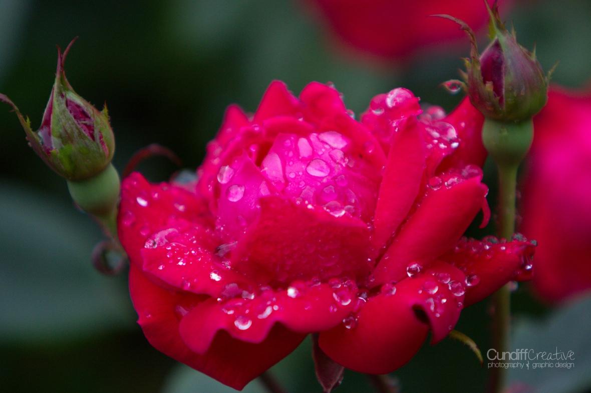 roses-7872