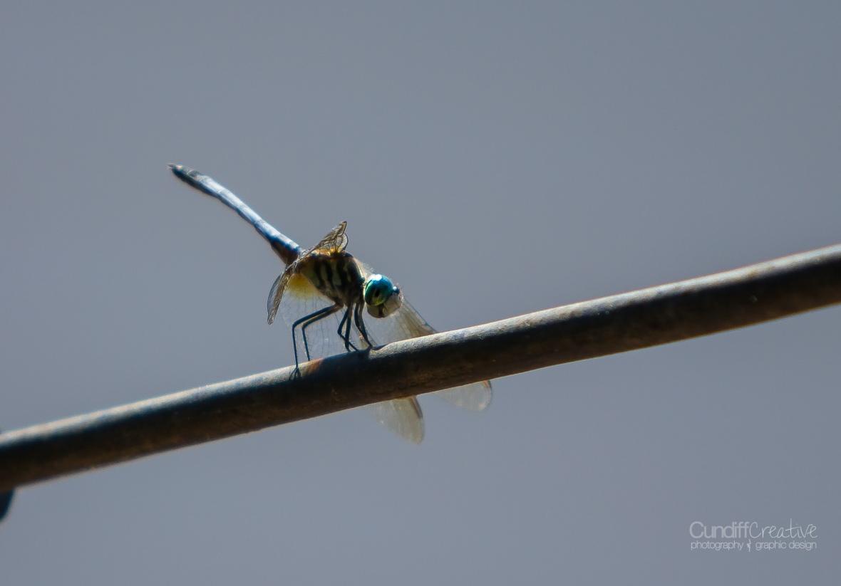 dragonflies-8149