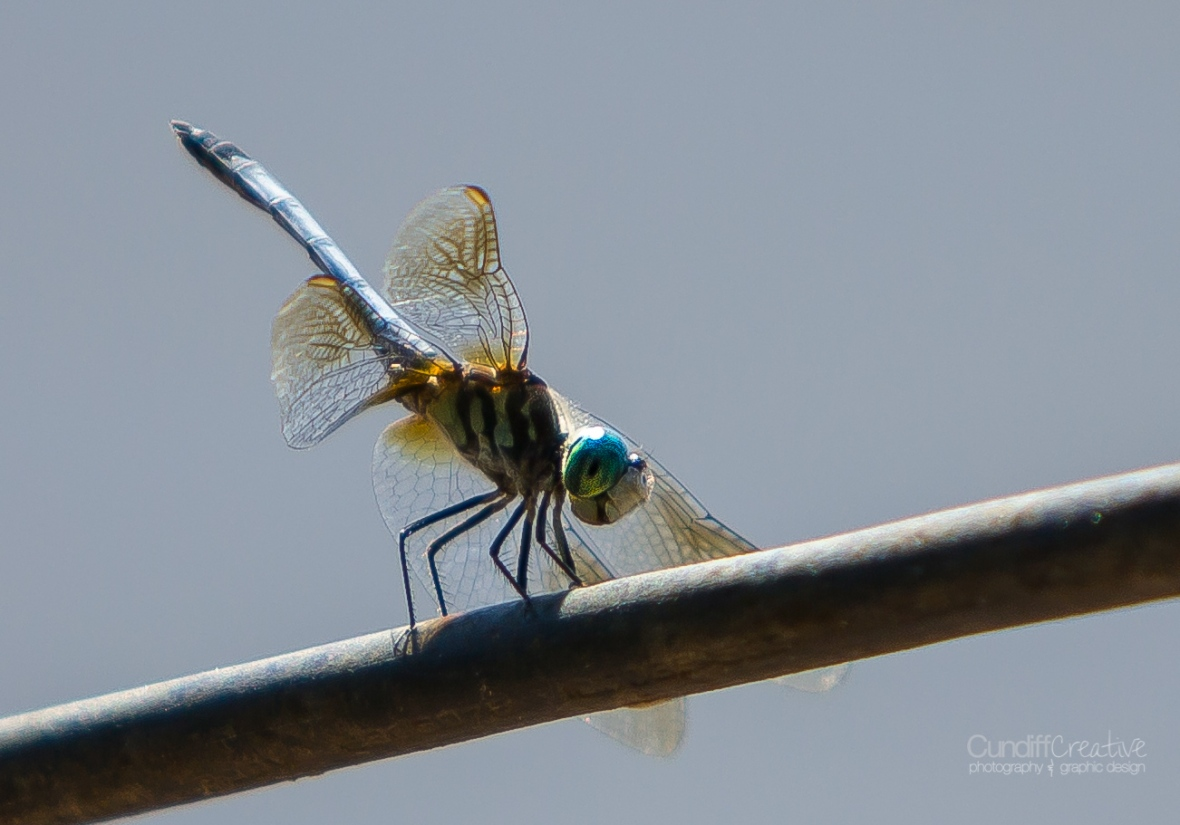 dragonflies-8151