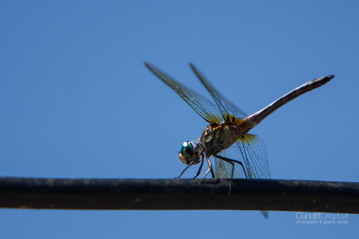 dragonflies-8160