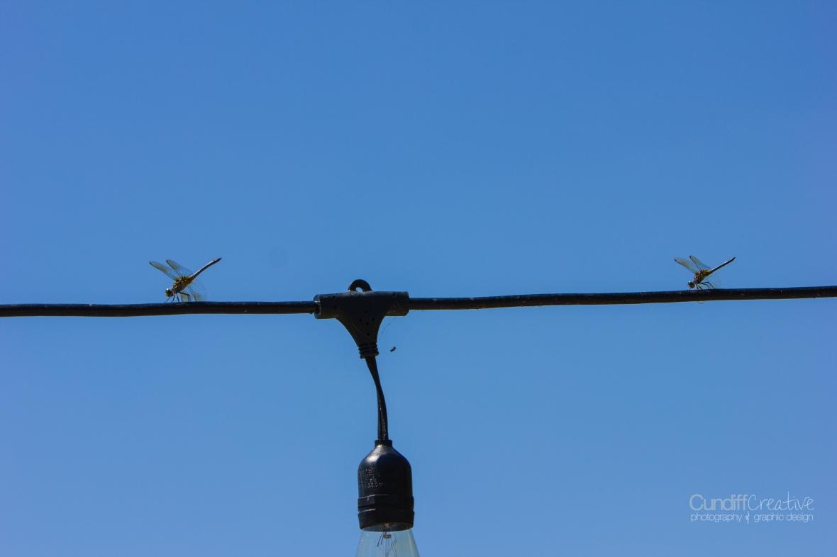 dragonflies-8168