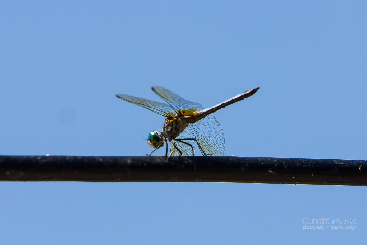 dragonflies-8172