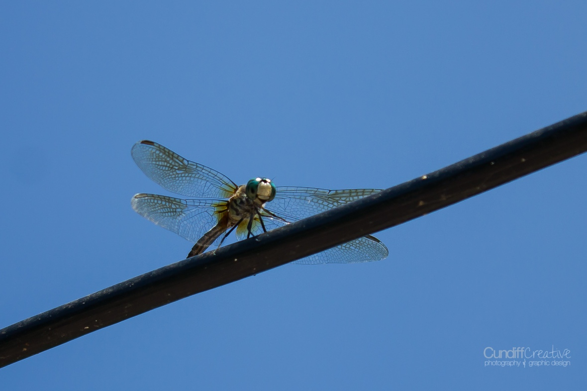dragonflies-8182